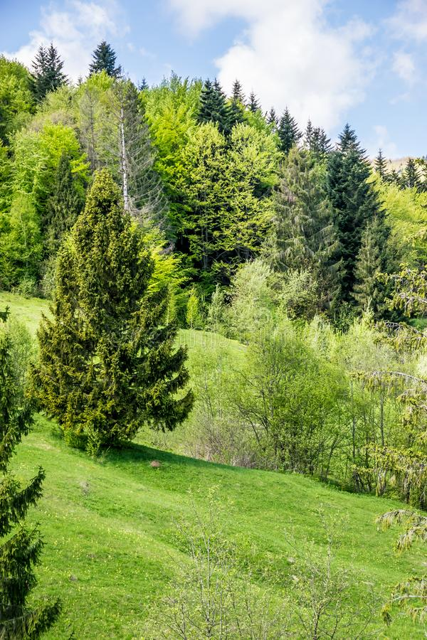 Świerkowi drzewa na wzgórzu obraz royalty free