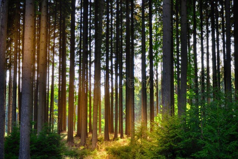 Świerkowi drzewa w lesie zdjęcie stock