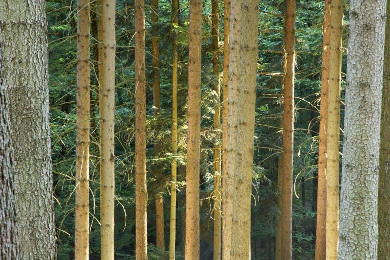 Świerkowi drzewa w lesie obrazy stock