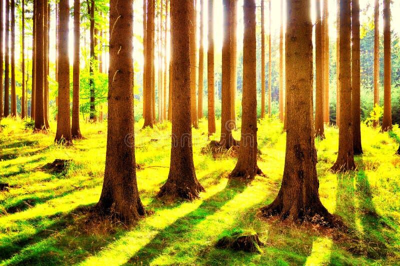 Świerkowi drzewa w lesie przy lata światłem dziennym obrazy stock