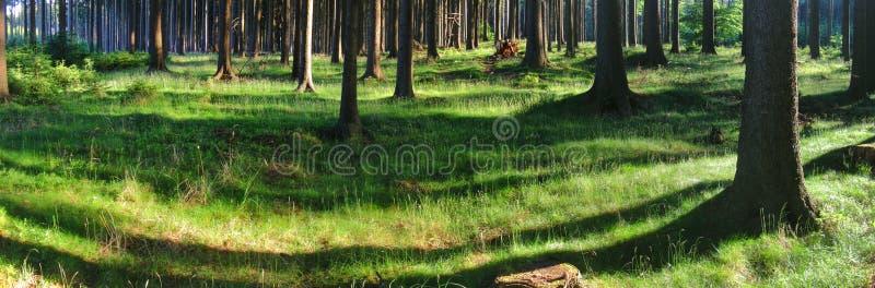 Świerkowi drzewa w lesie przy wiosny światłem dziennym fotografia stock