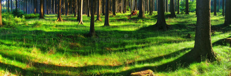 Świerkowi drzewa w lesie przy wiosny światłem dziennym obrazy stock