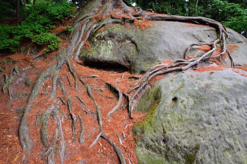 Świerkowi drzewo korzenie zdjęcia royalty free