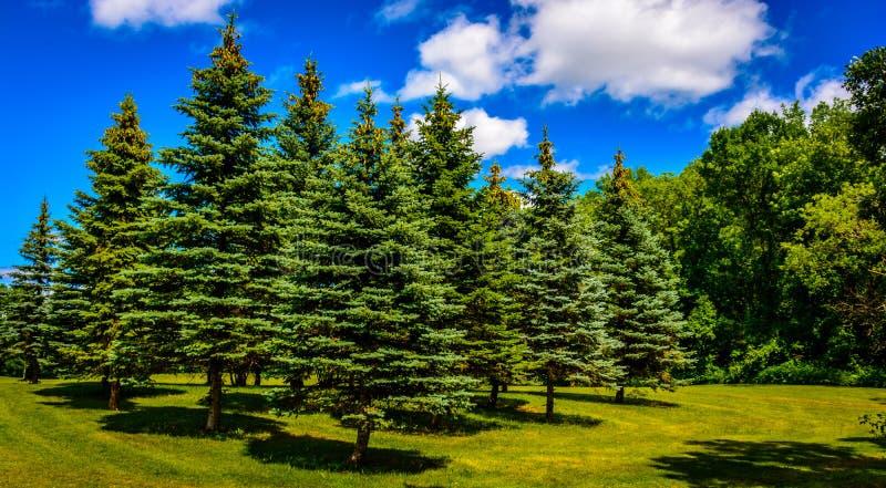 Świerkowy drzewny gaj ustawiający dojazdowy parkland publicznie obraz royalty free