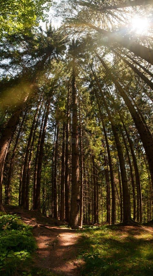 Świerkowy drzewny lasu i słońca sterczenie przez treetops obrazy royalty free