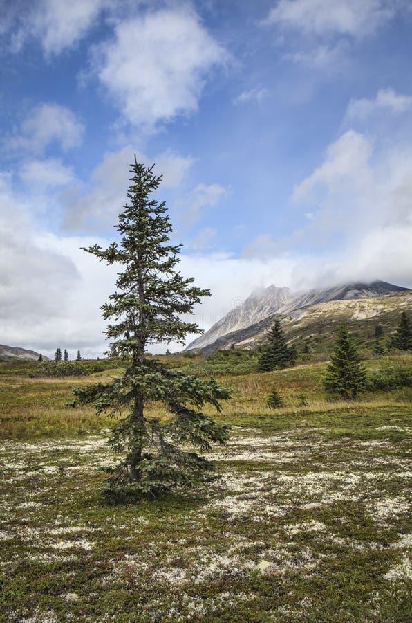 Świerkowy drzewo w lecie zdjęcia royalty free
