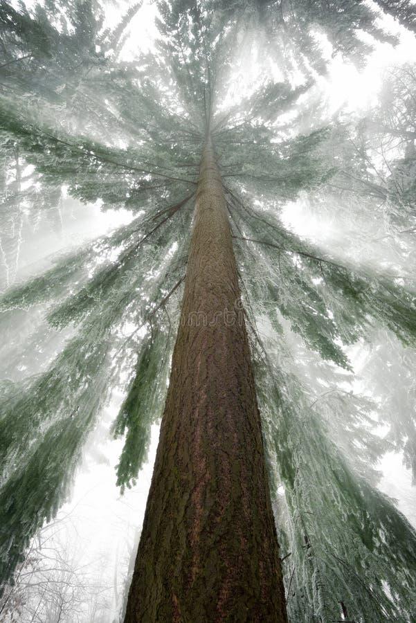 Świerkowy drzewo z chłodno lekkimi promieniami w zimie zdjęcia royalty free