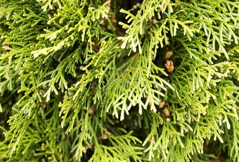 Świerkowy gałązki zieleni tło z sosnowymi rożkami obraz royalty free