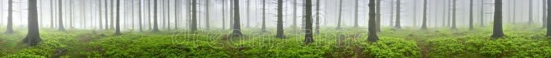 Świerkowy las obrazy royalty free