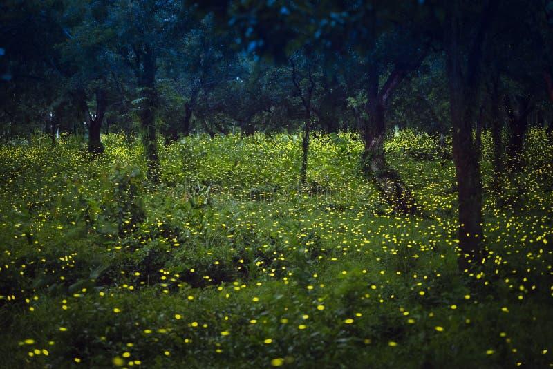Świetliki lata w lesie przy zmierzchem zdjęcie stock