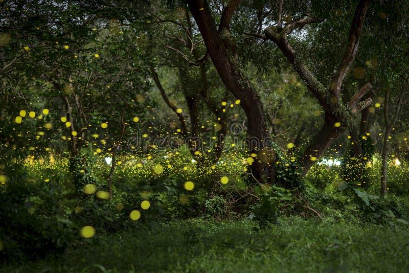 Świetliki lata w lesie przy zmierzchem obrazy royalty free