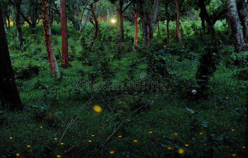 Świetliki w tropikalnym lesie obrazy stock