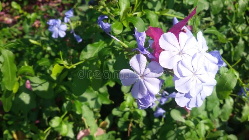 Świetlistość błękitni kwiaty zdjęcia royalty free