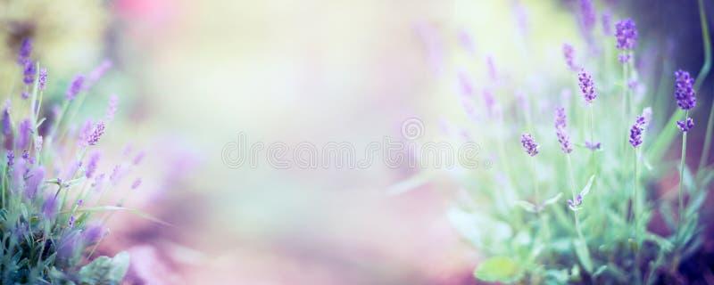 Świetna lawendowa kwiat roślina, kwitnienie na zamazanym natury tle i, panorama