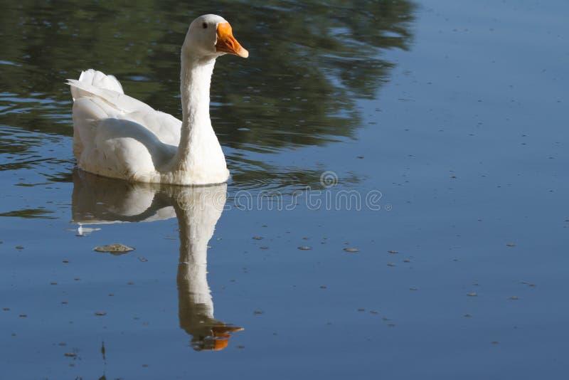 Świetny biały gęsi unosić się na błękitne wody. zdjęcia royalty free