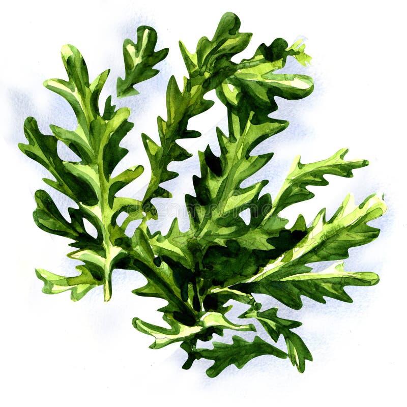 Świezi arugula rucola liście odizolowywający ilustracja wektor
