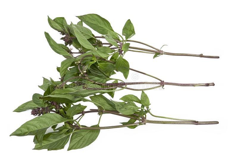 Świezi Azjatyccy basilów liście na białym tle zdjęcie royalty free