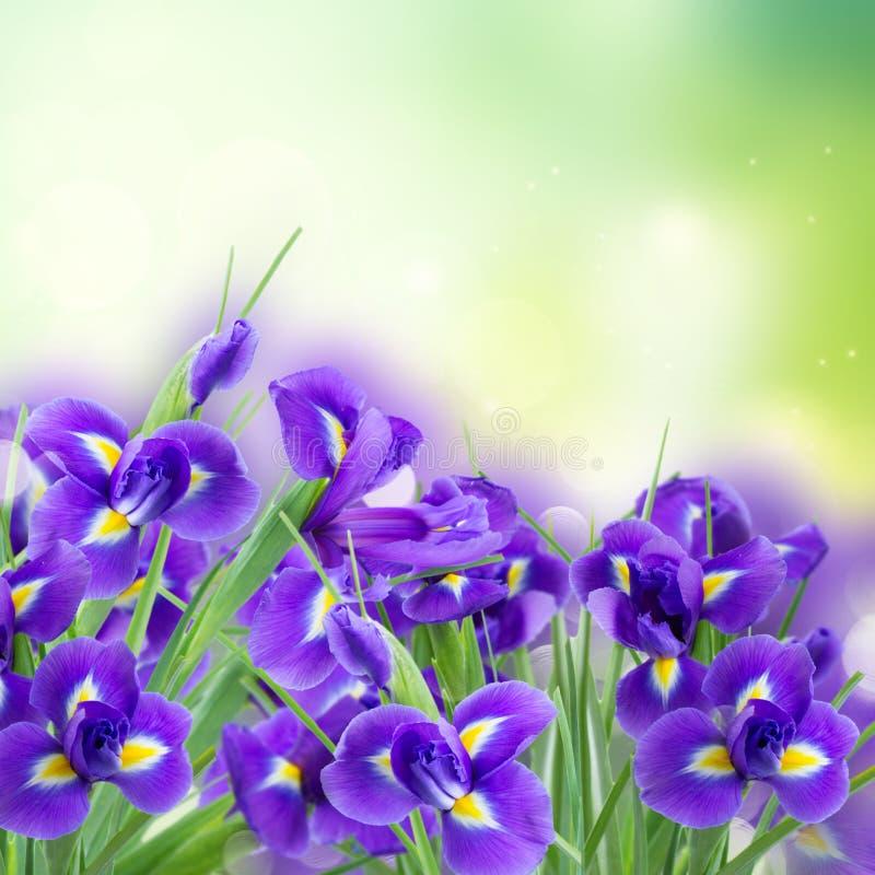 Świezi błękitni irise kwiaty fotografia stock