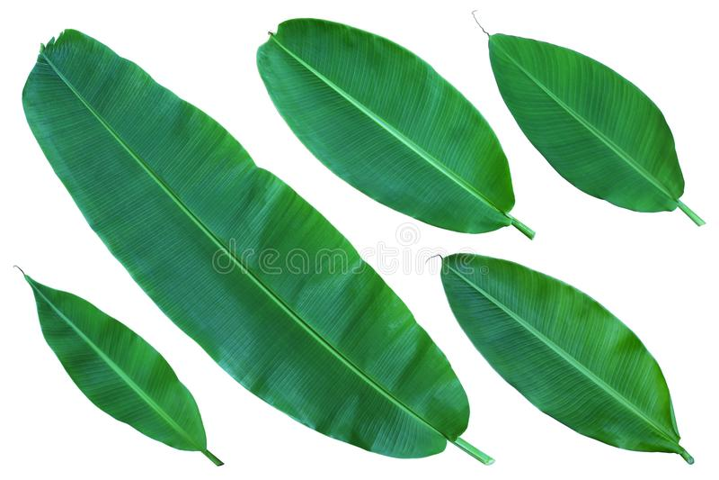 Świezi cali bananów liście zdjęcie stock