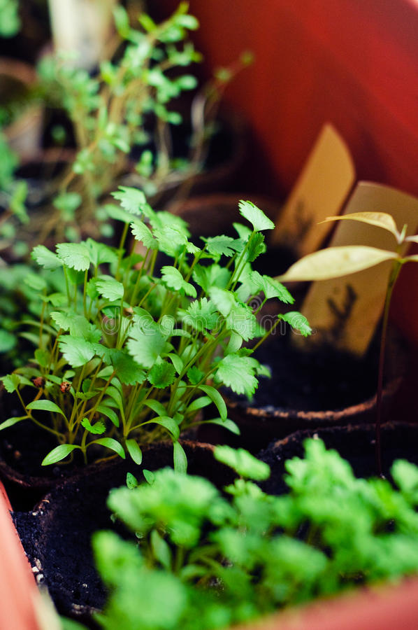 świezi cilantro potomstwa obraz royalty free