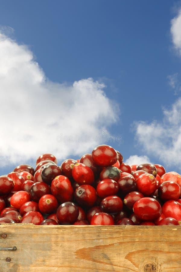 Świezi cranberries w drewnianej skrzynce obrazy stock