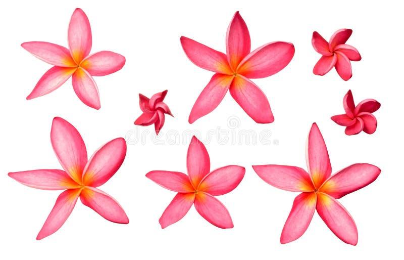 Świezi czerwoni frangipani kwiaty odizolowywający na białym, odgórnym widoku, obraz stock