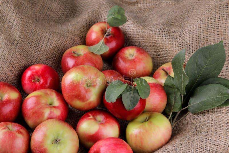 świezi dojrzali czerwoni jabłka z liśćmi w grabić Żniwo owoc obrazy stock