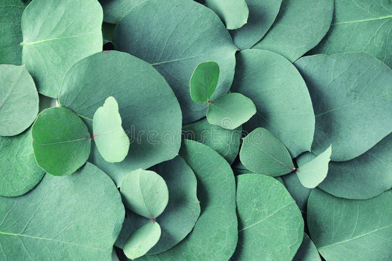 świezi eukaliptusów liście Mieszkanie nieatutowy, odgórny widok Natura zielony eukaliptus opuszcza tło obrazy royalty free