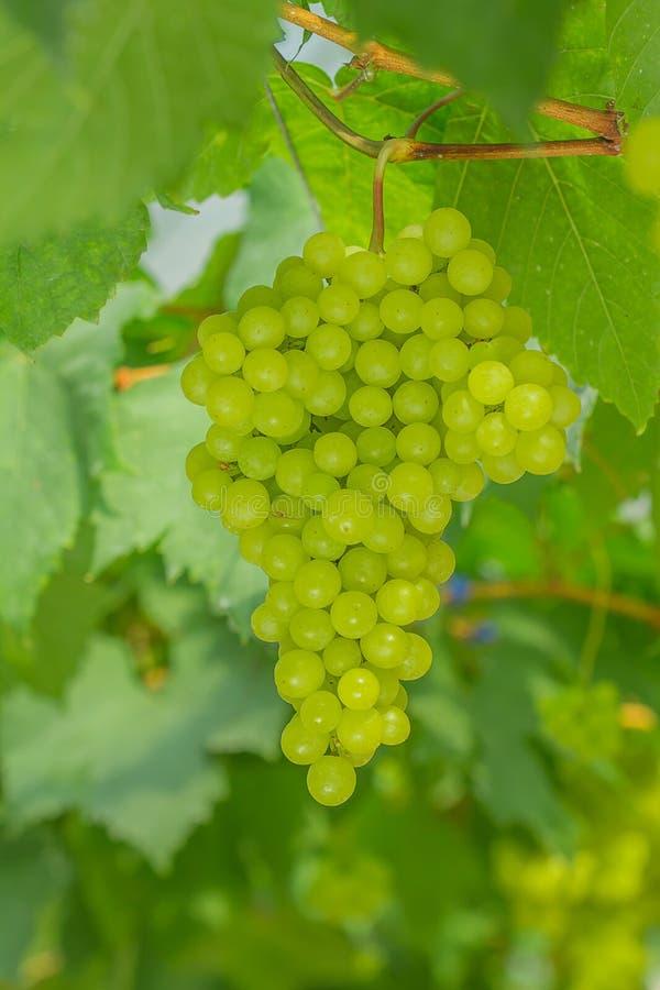 Świezi i młodzi zieleni winogrona fotografia royalty free