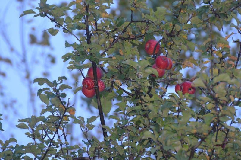 Świezi i smakowici jabłka obraz stock