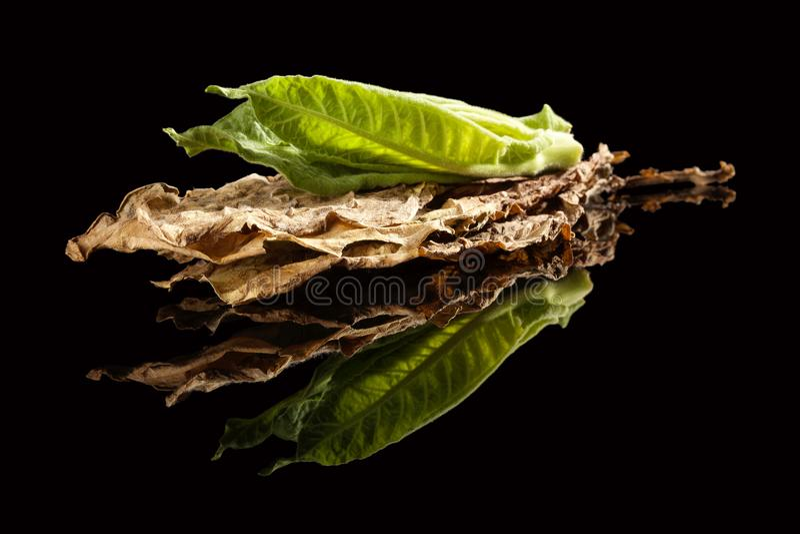 Świezi i wysuszeni tabaczni liście zdjęcie royalty free