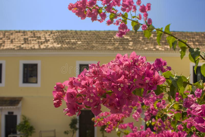 Świezi jaskrawi różowi tropikalni kwiaty w górę gałąź z zielenią dalej opuszczają na zamazanym tle koloru żółtego dom z bielem obraz royalty free