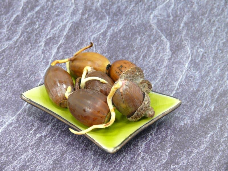Świezi kiełkuje acorns powiedzą zostać dębem zdjęcia stock