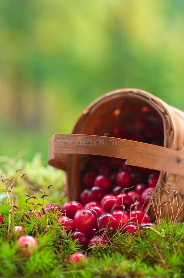 świezi koszykowi cranberries obrazy royalty free