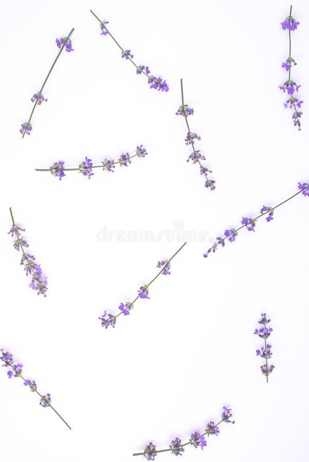 Świezi lawenda kwiaty układali na białym tle Lawendowi kwiaty wy?miewaj? up kosmos kopii Minimalny t?a poj?cie obraz royalty free