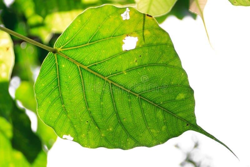 Świezi liście Ficus religiosa obrazy royalty free