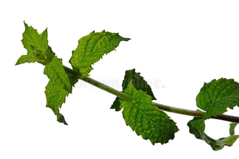 Świezi liście na gałąź spearmint Mintha Spicata na białym tle zdjęcia stock