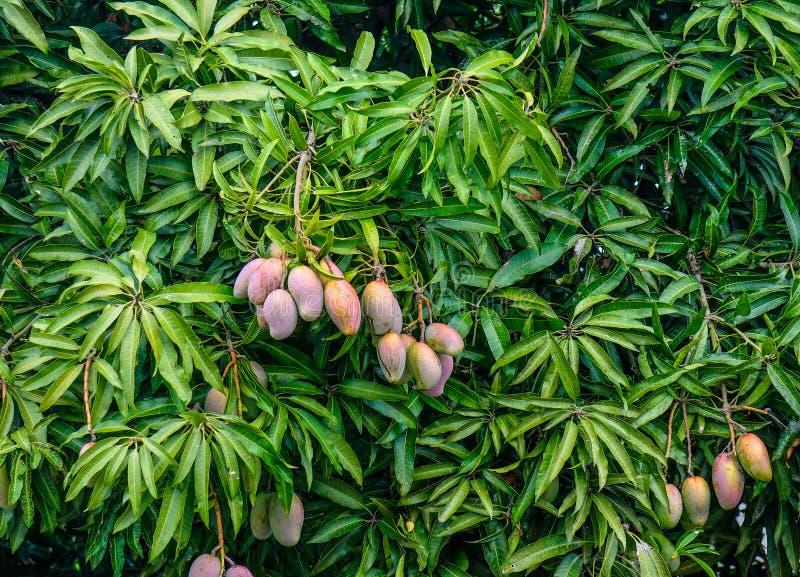 Świezi mango na drzewie obrazy stock