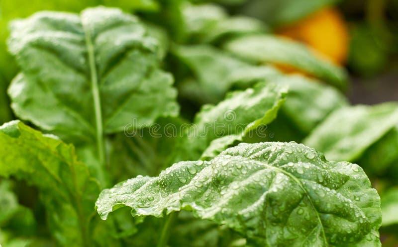 Świezi mokrzy liście zielona ćwikłowa roślina i bania na łóżku przy tłem, zdjęcie stock