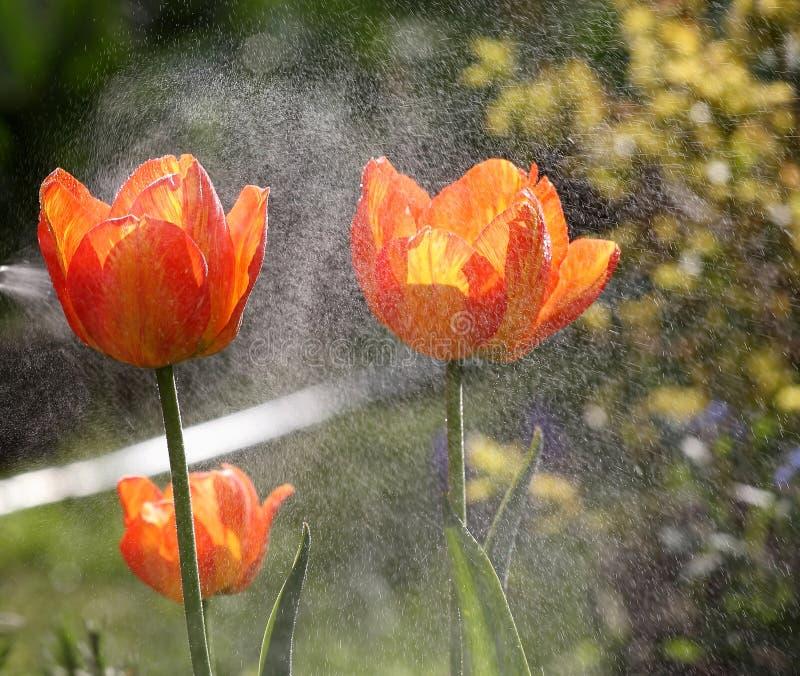 Download Świezi Narastający Tulipany Z Rosa Kroplami Zdjęcie Stock - Obraz złożonej z femaleness, środowisko: 53784370