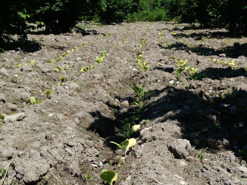 Świezi nowonarodzeni tabacznej rośliny pola Zadziwiająca Tabaczna plantacja obraz royalty free