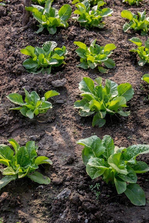 Świezi obfitolistni warzywa w fabule fotografia royalty free