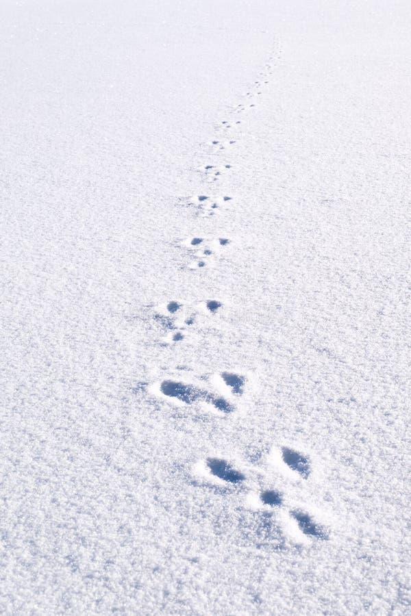 Świezi odciski stopi, kroki od zwierzęcego królika w białym śnieżnym polu obrazy stock