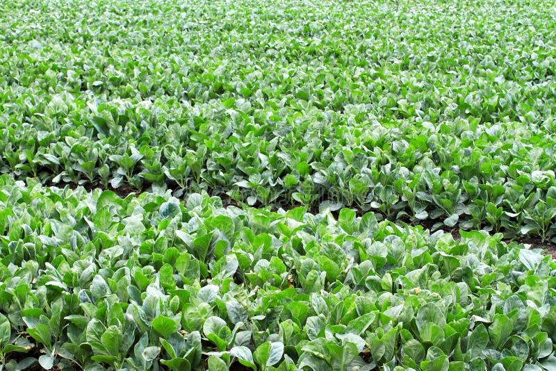 świezi ogrodowi warzywa obraz stock