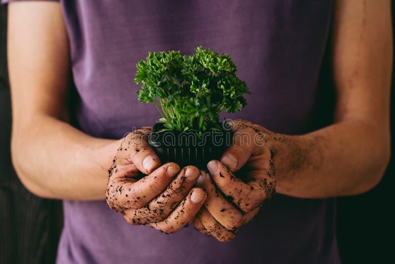 świezi ogrodowi ziele Ogrodniczka trzyma świeżej pietruszki, zakończenie zdjęcia stock