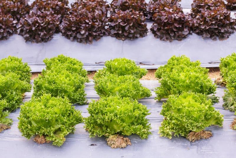 Świezi organicznie zieleni sałat warzywa sałatkowi w gospodarstwie rolnym dla zdrowie, jedzenia i rolnictwa pojęcia projekta, zdjęcie stock