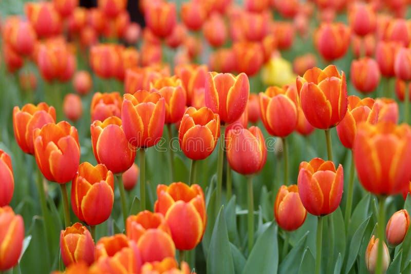 Świezi pomarańczowi tulipany fotografia royalty free