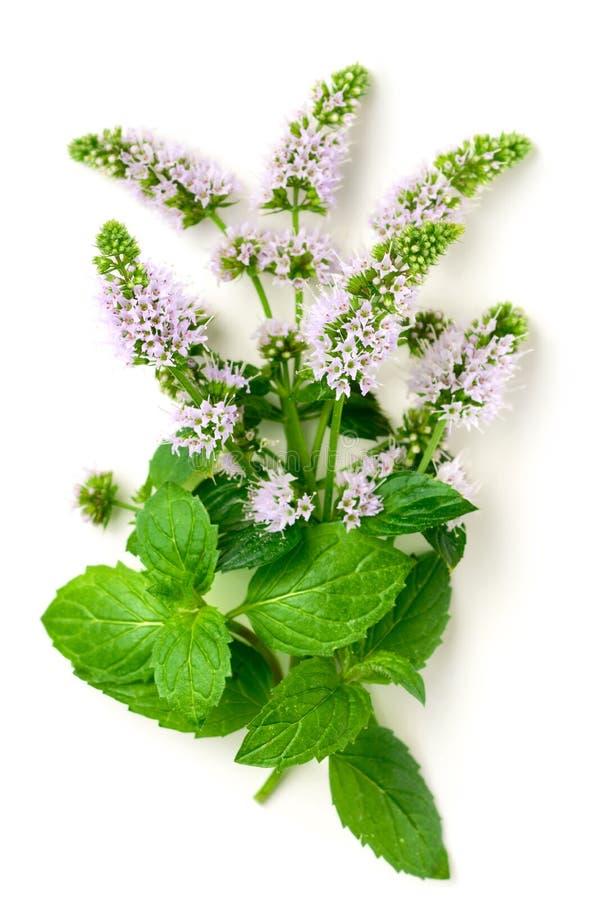 Świezi purpurowi miętówka kwiaty odizolowywający na bielu fotografia royalty free