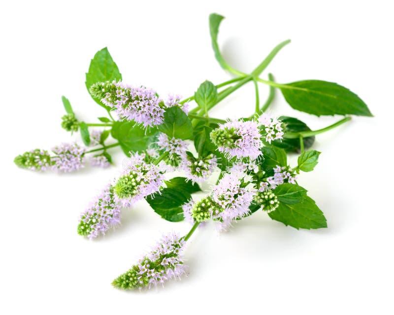 Świezi purpurowi miętówka kwiaty odizolowywający na bielu obrazy royalty free