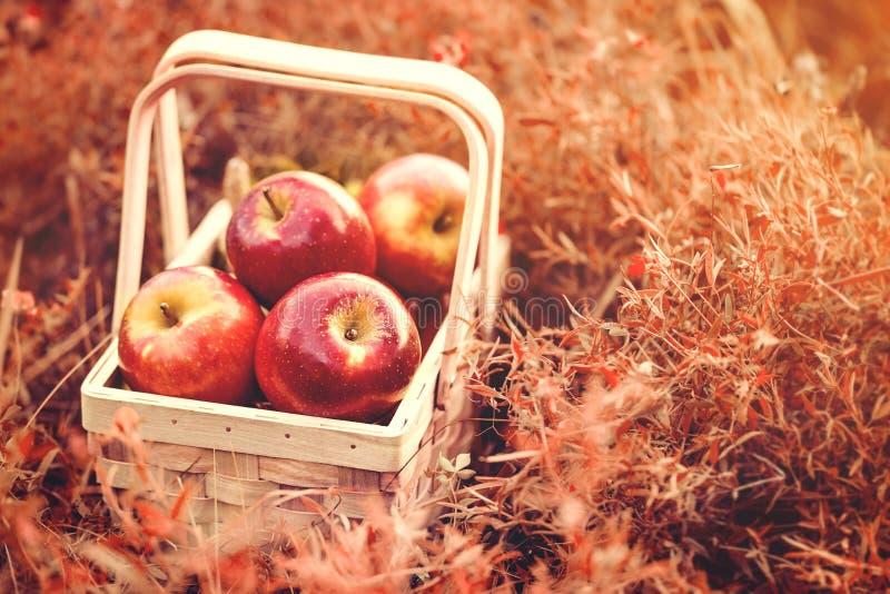 Świezi Smakowici Czerwoni jabłka w Drewnianym koszu na Czerwonym jesieni tle obraz stock